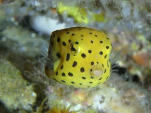 レアものミナミハコフグの幼魚